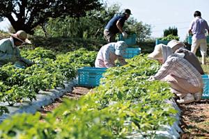 繊細な明日葉は山口県の提携農場で丁寧に栽培