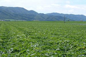 自然に囲まれた広大な畑で育てられるえびすかぼちゃ